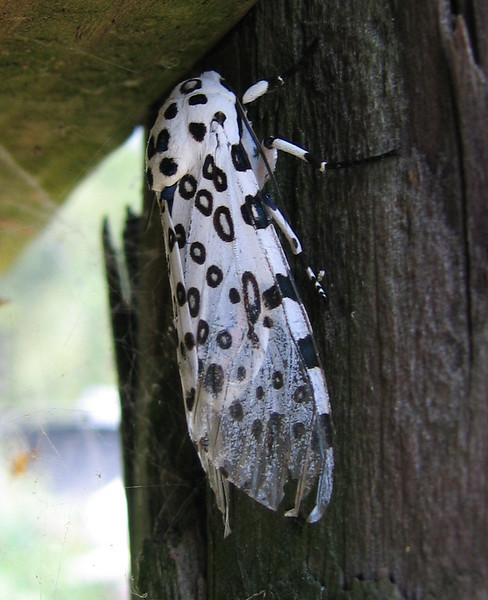 A female giant leopard moth (a.k.a. eyed tiger moth or great leopard moth; Hypercompe scribonia) (214_1450)