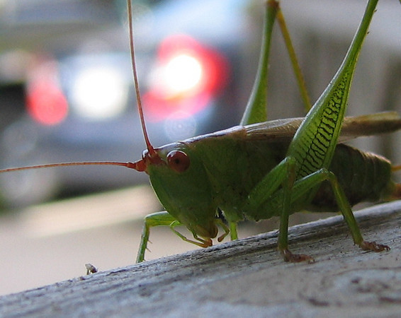 A meadow katydid hanging out on the patio fence