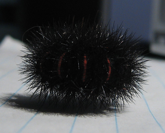 A giant leopard moth caterpillar (a.k.a. eyed tiger moth or great leopard moth; Hypercompe scribonia)