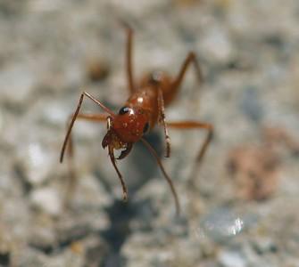 ant1b