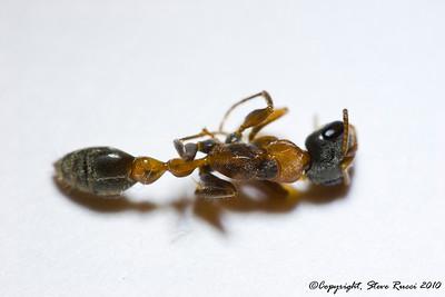Elongate Twig Ant  - Pseudomyrmex gracilis (Fabricius)
