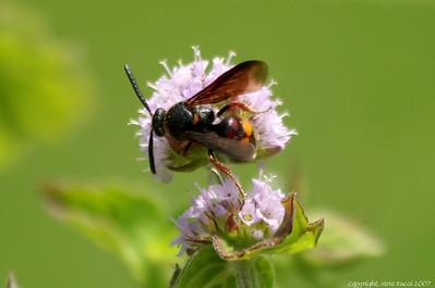 Scolia nobilitata Fabricius, a scoliid wasp