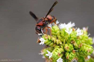 Wasp (Unknown Species)