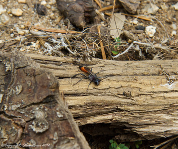 Digging wasp.  These guys were all over the place while we were in Sequoia National Park.