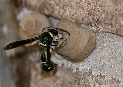 Potter Wasp inserting a paralyzed caterpiller into her nest for the future larvae inside.
