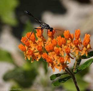 Unidentified Wasp or Mud Dauber on Milkweed.