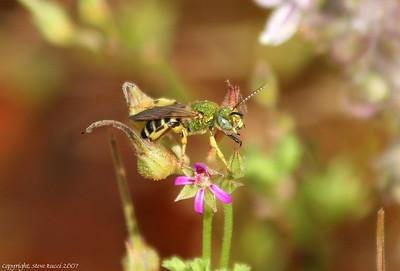 Green Metallic Bee (Family Halictidae) - Male