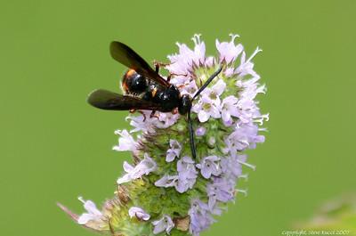 Scolia nobilitata Fabricius, a scoliid wasp.