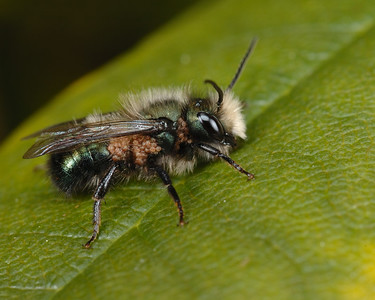 Mason Bee, this picture really shows the mites.