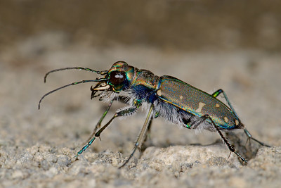 Oregon Tiger Beetle