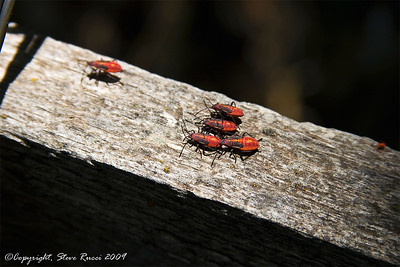 I'm not sure what kind of bugs these were, but they were EVERYWHERE at the Josie Morris Cabin, Dinosaur National Monument, Utah.