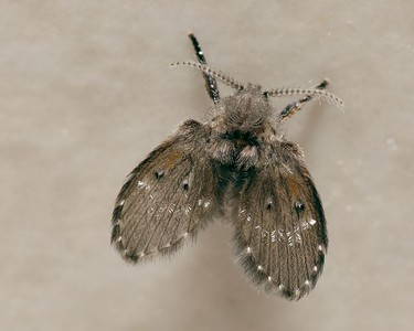 Fly Moth, about 5 mm long from tip of wing to end of leg.
