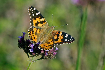 Painted Lady  butterfly on Brazilian Verben