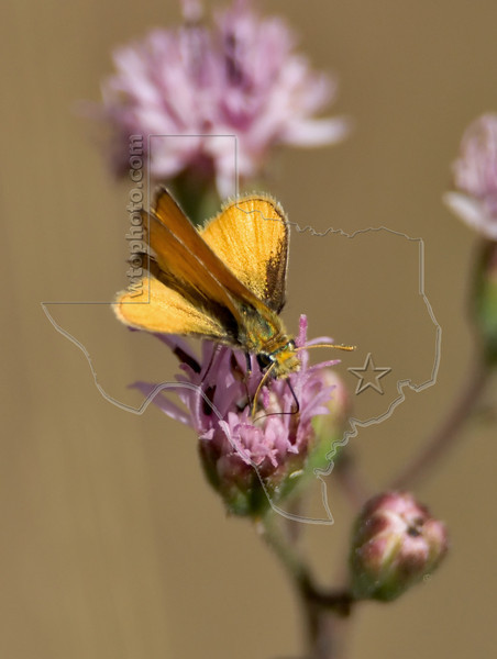 Orange Skipperling Butterfly,<br /> Nordheim, Texas