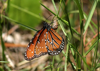 Queen butterfly (Danaus gilippus) laying eggs - Hagen's Cove