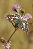 Tropical Checkered Skipper Butterfly,<br /> Nordheim, Texas