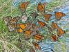 Monarch Butterflies, Fall Migration,<br /> High Island Beach, Texas