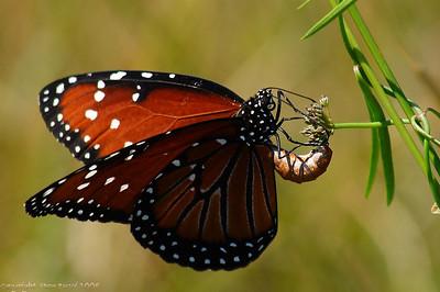 Queen butterfly (Danaus gilippus).