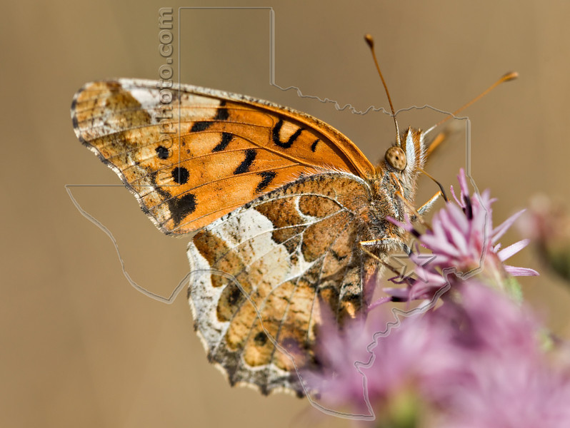 Variegated Fritillary Butterfly,<br /> Nordheim, Texas