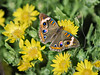 Buckeye Butterfly,<br /> High Island Beach, Texas