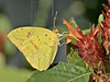 Cloudless Sulphur Butterfly,<br /> Nordheim, Texas