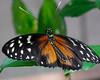 Tithorea Butterfly