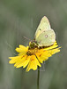 Orange Sulfur Butterfly on Nueces Coreopsis<br /> Nordheim, Texas