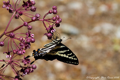 A Swallowtail butterfly on Purple Milkweed (asclepias cordifolia), Kings Canyon National Park - California