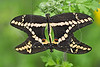Giant Swallowtail Butterfly (papilio cresphontes), Mating,<br /> Nordheim, Texas