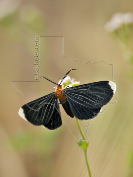 White-tipped Black Moth,<br /> Nordheim, Texas