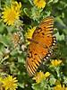 Gulf Fritillary Butterfly,<br /> High Island Beach, Texas