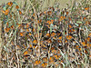 Monarch Butterflies, Fall Migration,<br /> High Island Beach, Texas