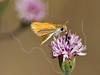 Orange Skipperling Butterfly,<br /> Nordheim, Texas