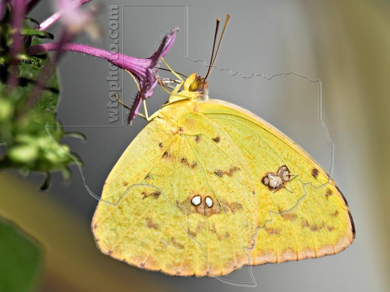 Cloudless Sulphur Butterfly,<br /> Nordheim, Texas