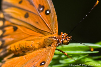 Gulf Fritillary Butterfly - playing around with my new 100mm f/2.8 macro lens...