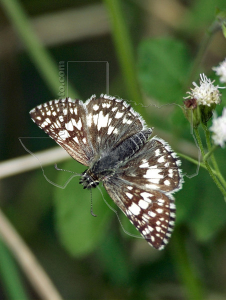 Common Checkered Skipper Butterfly,<br /> Nordheim, Texas
