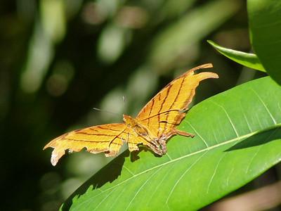 Butterfly in Corkscrew Swamp Sanctuary