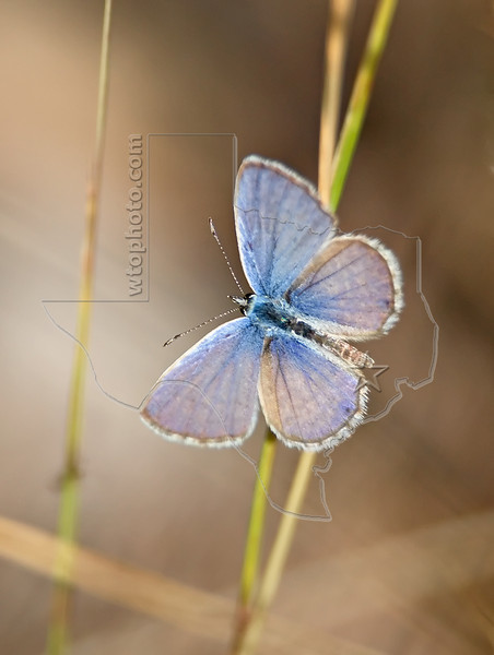 Marine Blue Butterfly,<br /> Nordheim, Texas