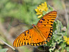 Gulf Fritillary Butterfly,<br /> High Island Beach, Texas