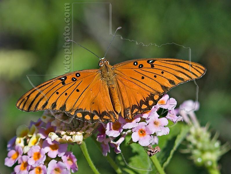 Gulf Fritillary Butterfly,<br /> San Louis Pass, Texas
