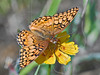 Variegated Fritillary Butterfly,<br /> on Nueces Coreopsis, Nordheim, Texas