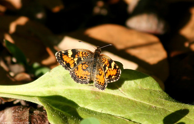 Phaon Crescent Butterfly (Phyciodes phaon)