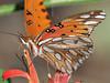 Gulf Fritillary Butterfly,<br /> Nordheim, Texas