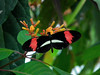Crismon Patch Longwing Butterfly <br /> Small Postman, (Heliconius erato)<br /> Common to Costa Rica
