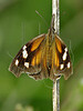 Snout Butterfly (libytheana bachmanii)<br /> Nordheim, Texas