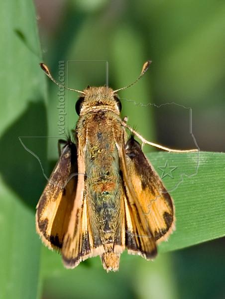 Fiery Skipper Butterfly, Nordheim, Texas