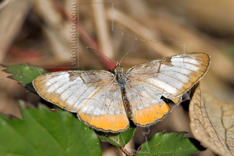 Common Mestra Butterfly,<br /> Nordheim, Texas