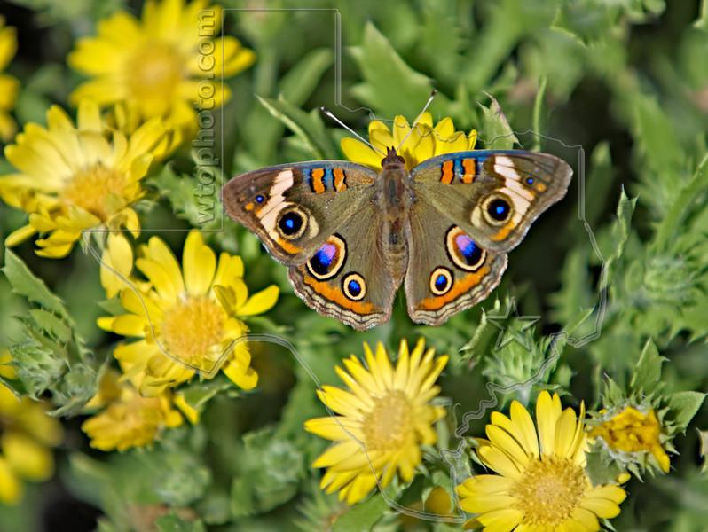 Buckeye Butterfly,<br /> High Island Beach, Texas