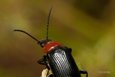 escaravelho-do-pescoço-vermelho (Heliotaurus ruficollis)