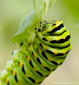 Swallowtail butterfly caterpillar.  Shot using a 100mm macro lens with 68mm of extension tube attached.